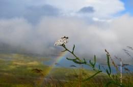 Achillea millefolium and rainbow