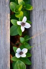 Cornus suecica
