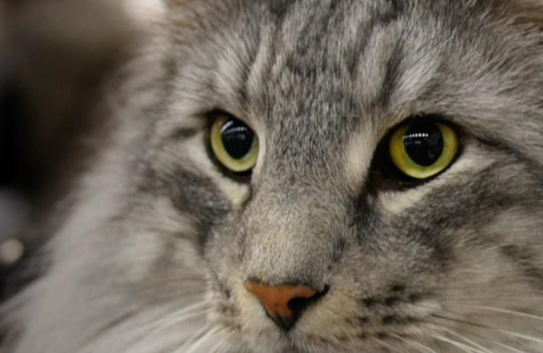 Norjalainen metsäkissa, kissat, lemmikit, lemmikkieläimet