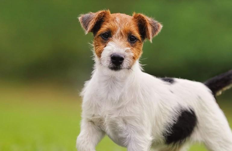 parsonrusselinterrieri koira, koirat