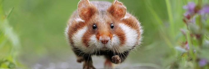 hamsteri, lemmikki, lemmikit, lemmikkieläimet