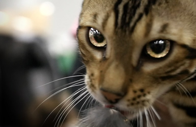 bengalikissa, kissa, kissat, kissan hoito, kissarodut, kissanäyttelyt, lemmikki, lemmikit, lemmikkieläin, lemmikkieläimet, bengali