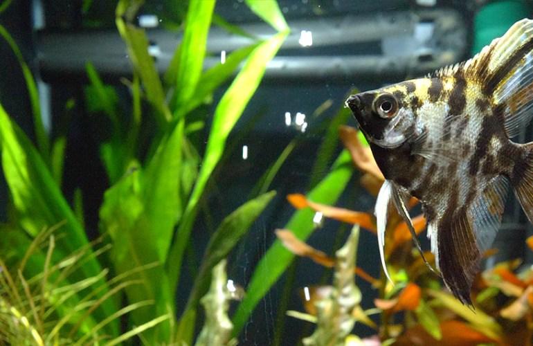 musta marmorilehtikala, akvaariokalat, akvaario, lemmikit, lemmikkieläimet