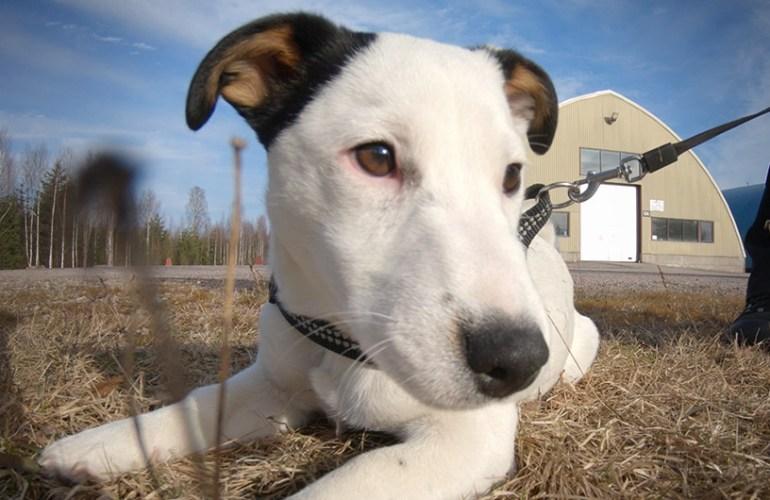 jackrusselinterrieri, pentu, pennut, koiranpentu, koiranpennut, koira, koirat, koiran hoito, koiran kasvatus, lemmikki, lemmikit, lemmikkieläin, lemmikkieläimet