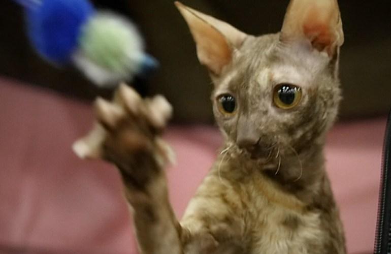 cornish rex, kissa, kissat, kissan hoito, kissarodut, kissanäyttelyt, lemmikki, lemmikit, lemmikkieläin, lemmikkieläimet