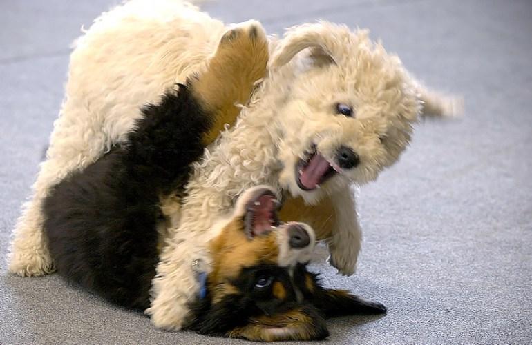 pentu, pennut, koiranpentu, koiranpennut, koira, koirat, koiran hoito, koiran kasvatus, lemmikki, lemmikit, lemmikkieläin, lemmikkieläimet