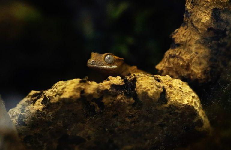 Harjasgekko