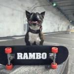 Koirat: Rambo Staffi - skeittaava koira