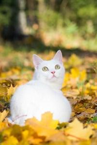 Valkoinen kissa makoilee syksyn lehdissä