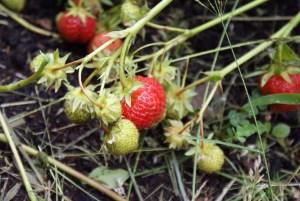 Młode truskawki