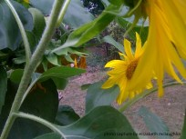 sunflower21