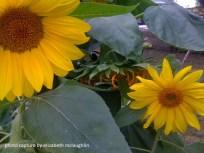 sunflower34