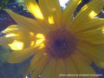 sunflower50