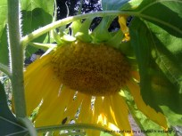 sunflower63
