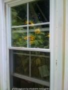 sunflower71