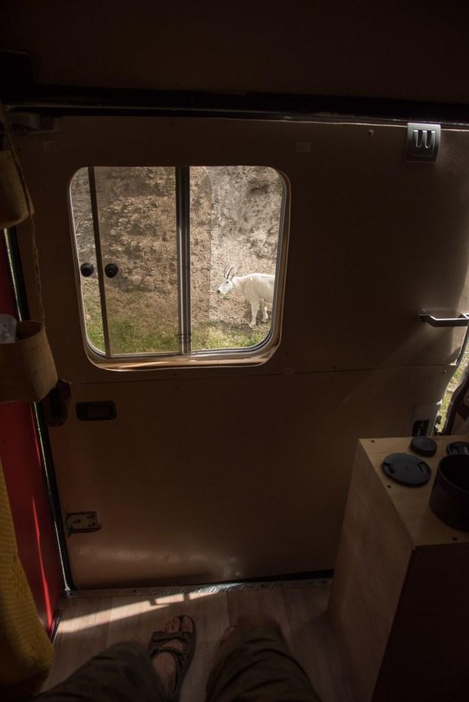 Chèvre des montagnes presque dans le camion