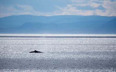 CANADA – QUEBEC – The Saint-Laurent whales