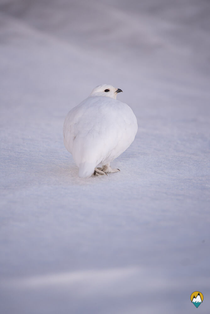 Lagopède alpin dans la neige