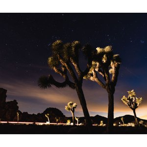 Joshua-Trees-dans-la-nuit