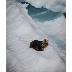 Loutre-de-Mer-Alaska