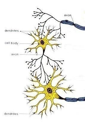 neurones_connex