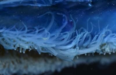 velelle_tentacules