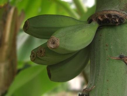 bananier2