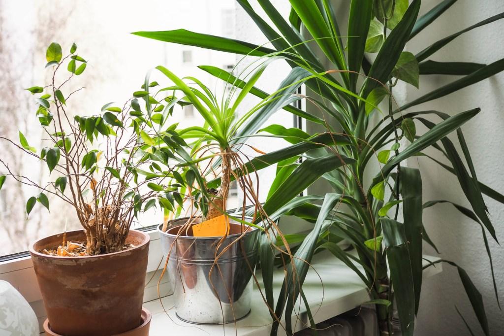 Ficus, Elefantenfuß, Yucca Palme auf Fensterbank. Aus dem Artikel: Zimmerpflanzen umbringen leicht gemacht – ein Erfahrungsbericht