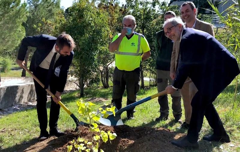 """un Ginkgo biloba a été planté pour symboliser l'appartenance à """"Mayors for Peace"""" (©JPV)"""