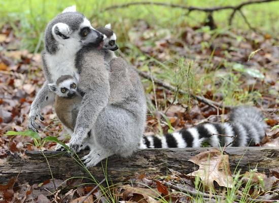 Lemur baby