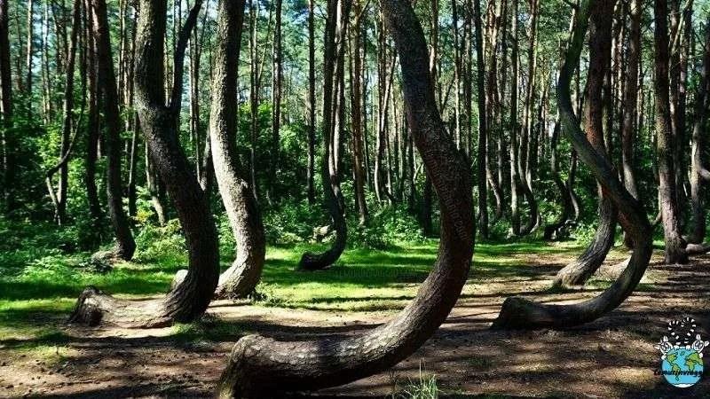 il mistero della foresta storta di Gryfino