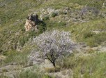 Such a lonely almond tree in mountains!