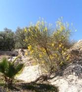 Broom on a dry, sandy and sunny bank