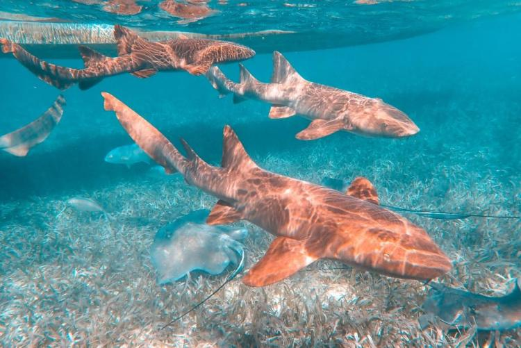 caye caulker - nurse sharks