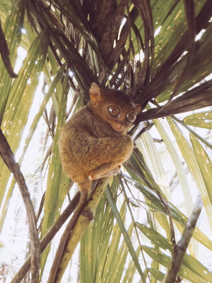 tarsier official sanctuary bohol