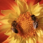 The honey bee controversy