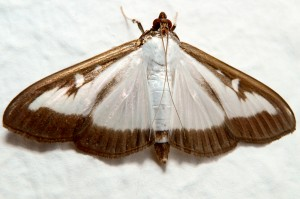 The box tree moth, an invader from Asia