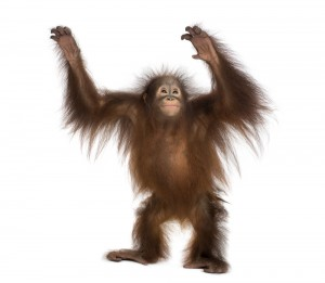 27-March-cracking-up-Orangutan_xl