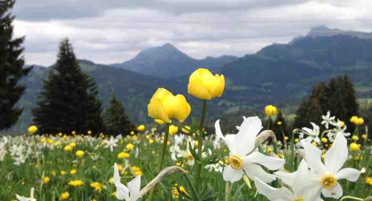 Swiss narcissus season returns