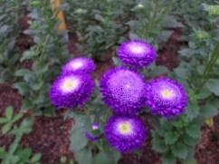 rumah-kaca-aster-ungu-2