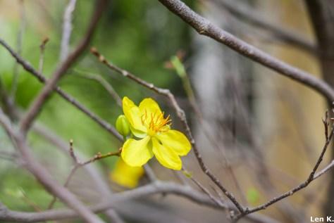 A closer view of hoa mai (yellow apricot flower)