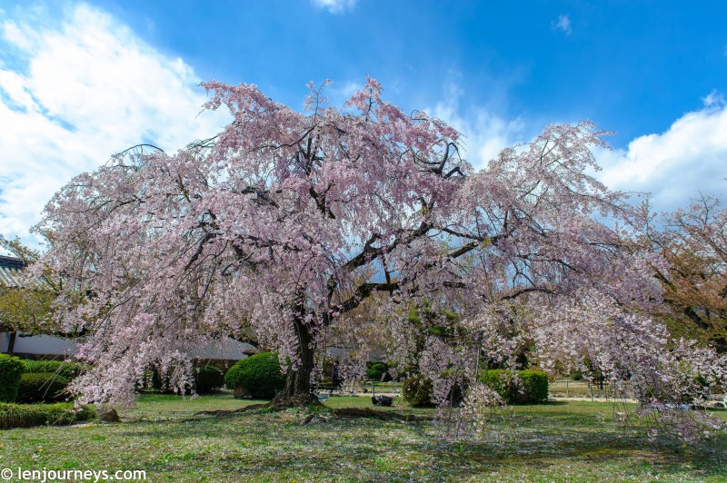 Cherry blossom tree in the garden of Himeji Castle