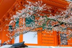 Cherry blossoms tree at Daito Pagoda
