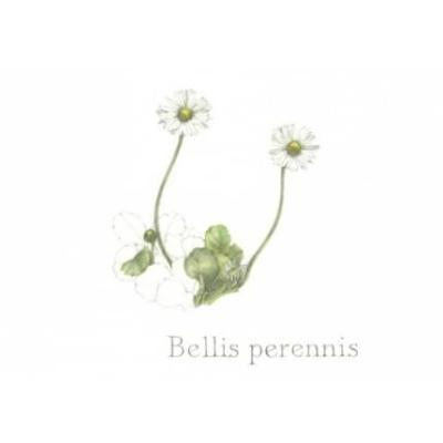 Přáníčko/kondolence Bellis perennis