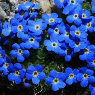 Pomněnka lesní modrá (alpská)