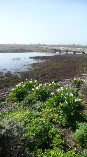 Divoké Kaly voľne rastúce na pláži, San Francisco, Spojené Štáty Americké, USA