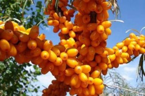 Denná dávka vitamínu C z rakytníka