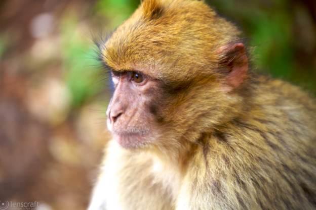 barbary ape / morocco