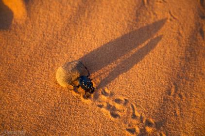 i bring home the dung / erg chebbi, morocco