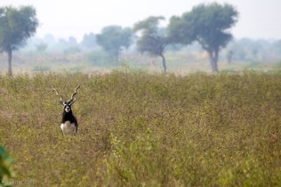 blackbuck / umednagar, india